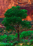 Utah National Parks Prints - Utah - Cottonwood Print by Terry Elniski