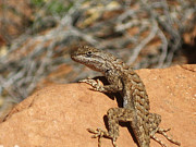 Utah Lizard Print by Matthew Parks