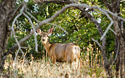 Mule Deer Buck Photograph Photos - Utah Mule Deer by Donna Van Vlack