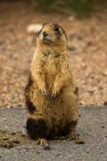 Prairie Dog Photos - Utah Prairie Dog by James Marvin Phelps