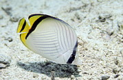 Vagabond Photos - Vagabond Butterflyfish by Georgette Douwma