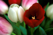 Red Photographs Photo Prints - Valentine Tulips Print by Kathy Yates