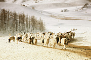 Flock Of Sheep Prints - Valley In Mongolia Print by Dominik Staszowski