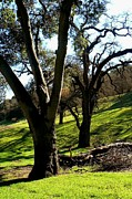 Pleasanton Photos - Valley Oak Trees by Diana Besser