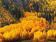 Aspen Grove Prints - Valley Of Gold Print by Terril Heilman