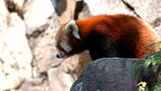Panda Bears Photos - Valley of the Red Panda by LeeAnn McLaneGoetz McLaneGoetzStudioLLCcom