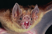 Bat Photos - Vampire Bat Desmodus Rotundus Portrait by Michael & Patricia Fogden