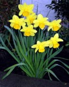 Blooming Digital Art Prints - Vancouver Daffodils Print by Will Borden