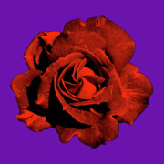 Purple Flora Digital Art Prints - Varas Rose 21 Print by Per Lidvall