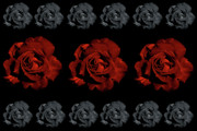 Black Rose Prints - Varas Rose 32 Print by Per Lidvall