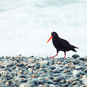 Oystercatcher Framed Prints - Variable Oystercatcher Framed Print by MotHaiBaPhoto Prints