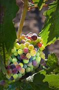 Grapevines Photos - Variegated Cluster of Grapes by Kent Sorensen