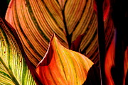 Leaves Photographs Framed Prints - Variegated Leaves Framed Print by Tam Graff