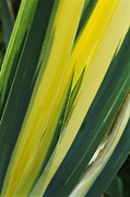 Monocotyledon Photos - Variegated Sweet Iris (iris variegata) by Archie Young