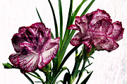 Carnations Prints - Variegated Twins Print by Terence Davis
