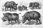 Tusk Prints - Varieties Of Swine Print by Granger