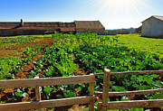 Fence Row Photos - Vegetable farm by Carlos Caetano