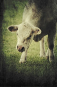 Cow Mixed Media Prints - Vegetaria Print by Angela Doelling AD DESIGN Photo and PhotoArt