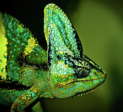 Side View Art - Veiled Chameleon by Copyright By D.teil