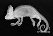 Veiled Art - Veiled Chameleon X-ray by Ted Kinsman