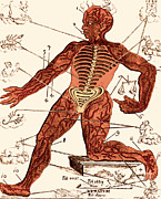 Astrological Art Posters - Vein Man, Medical Astrology, 17th Poster by Science Source