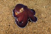 Blend Prints - Veined octopus Print by Dave Fleetham - Printscapes