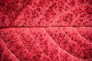 Geometry.color Prints - Veins in a Red Autumn Leaf Print by Ryan Kelly