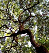 Live Oak Trees Posters - Veins of Life Poster by Karen Wiles