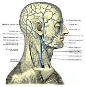 Human Head Posters - Veins Of The Head And Neck Poster by Science Source