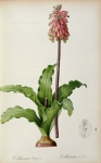 Redoute Paintings - Veltheimia Capensis by Pierre Joseph Redoute 