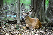 Bedding Art - Velvet Buck at rest  by Paul Ward