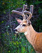 Blending Photos - Velvet Buck Close Up by Steve McKinzie