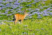 Deer Prints - Velvet on Lupine Print by Mike  Dawson