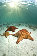 Water Photo Posters - Venezuela, Los Roques, Los Roques National Park, Starfish Underwater Poster by Federico Cabello