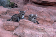 Wild Cats Photos - Venturing Out by Sandra Bronstein