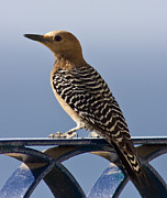 Gila Woodpecker Framed Prints - Veranda Visitor Framed Print by Will Cornell