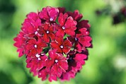 Claret Framed Prints - Verbena claret Framed Print by Dr Keith Wheeler