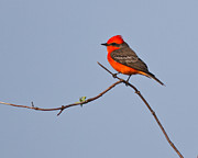 Flycatcher Prints - Vermilion flycatcher Print by Carl Jackson