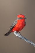 Wildlife Refuge Photo Prints - Vermilion Flycatcher Print by Clarence Holmes
