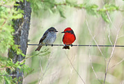 Female Animal Posters - Vermilion Flycatcher In Love Poster by Edith Polverini