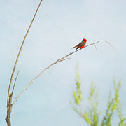 Perching Prints - Vermilion Flycatcher Print by Susan Gary
