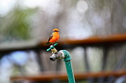 Faucet Posters - Vermilion Flycatcher Two Poster by Diana Hatcher