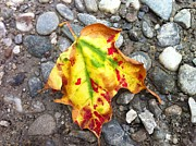 Country Photos - Vermont Foliage - Leaf on Earth by Elijah Brook