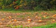 Harvest Time Prints - Vermont Pumpkin Patch Print by Steve Ohlsen