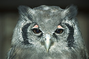 Frontal Metal Prints - Verreauxs Eagle-owl Bubo Lacteus Metal Print by Konrad Wothe