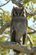Full-length Portrait Prints - Verreauxs Eagle Owl, Bubo Lacteus, Or Print by Paul Sutherland