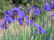 Dead Heads Prints - Very Blue Japanese Iris Print by Tim Donovan