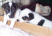 Black And White Jack Russell Terrier Puppies Photos - Very Determined Puppies by Linda Parker