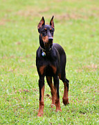 Doberman Pinscher Puppy Prints - Very Noble Print by Dorrie Pelzer