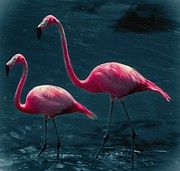 Flamingo Prints - Very Pink Flamingos Print by DigiArt Diaries by Vicky Browning